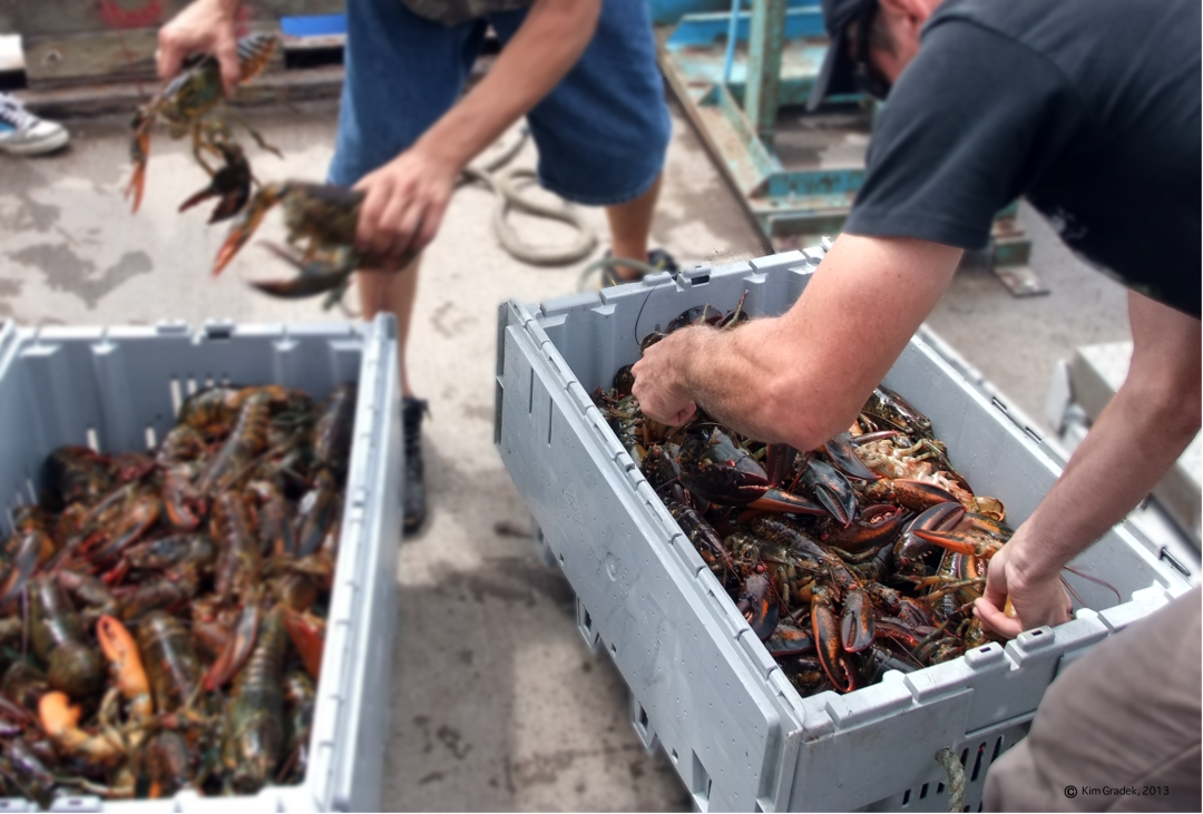 Back from sea, it's time to sort through the day's catch: Lobsters off the coast of Shediack, New-Brunswick. Photo by: Kim Gradek